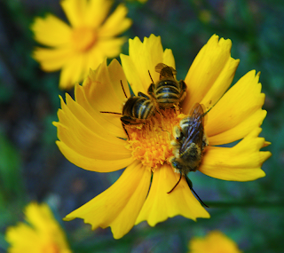 Three Bees Sleeping on Calendula