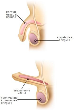 chto-sposobstvuet-virabotke-spermi