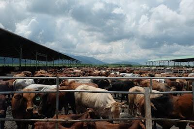 Tính đến tháng 6/2015 HAGL đã nhập khẩu 86.700 con bò về các trang trại, dự kiến năm 2016 đàn bò của HAGL đạt khoảng 200.000-300.000 con.