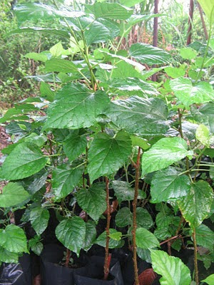 Benih Pokok Mulberi/Morus Alba