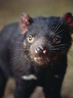Foto Tasmanian Devils