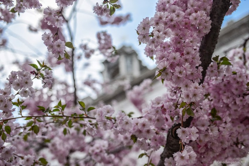 Trees in Bloom in front of City Hall in Portland, Maine USA May 2015 photo by Corey Templeton.