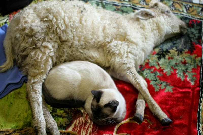 little sick lamb and Karma