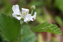 Daddy-Long-legs on Dewberry