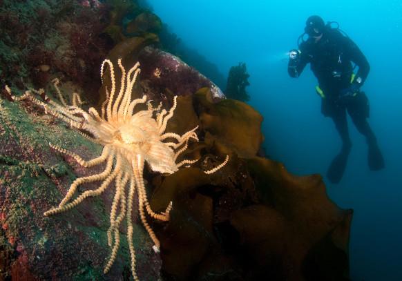 Long with 50 wrist strange starfish: Antarctic waters greedy predators