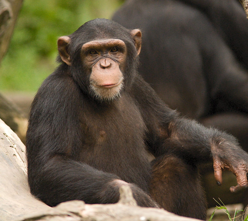 the chimpanzees Chimpanzees are one of our closest relatives, sharing about 98% of their genes with humans they have thickset bodies with long arms that extend beyond their knees.