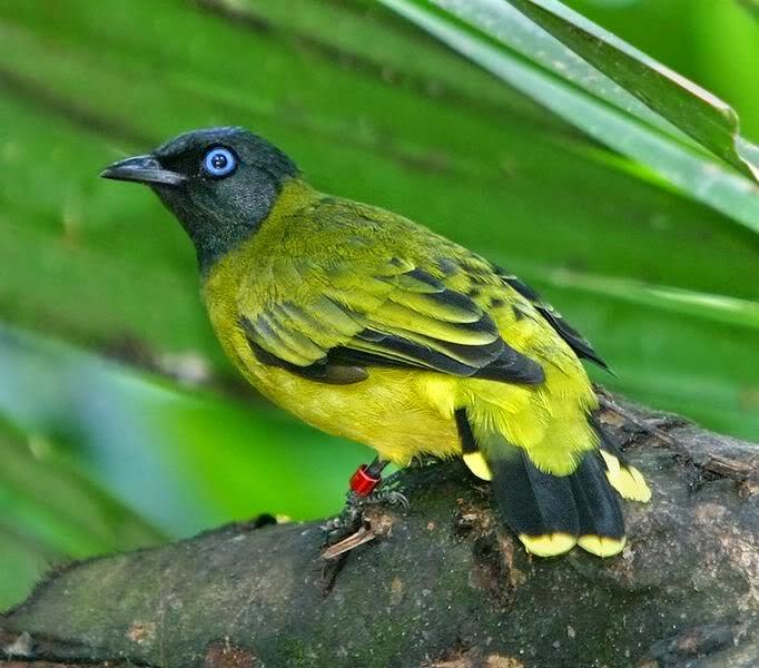 Foto Burung Kutilang Terbaik