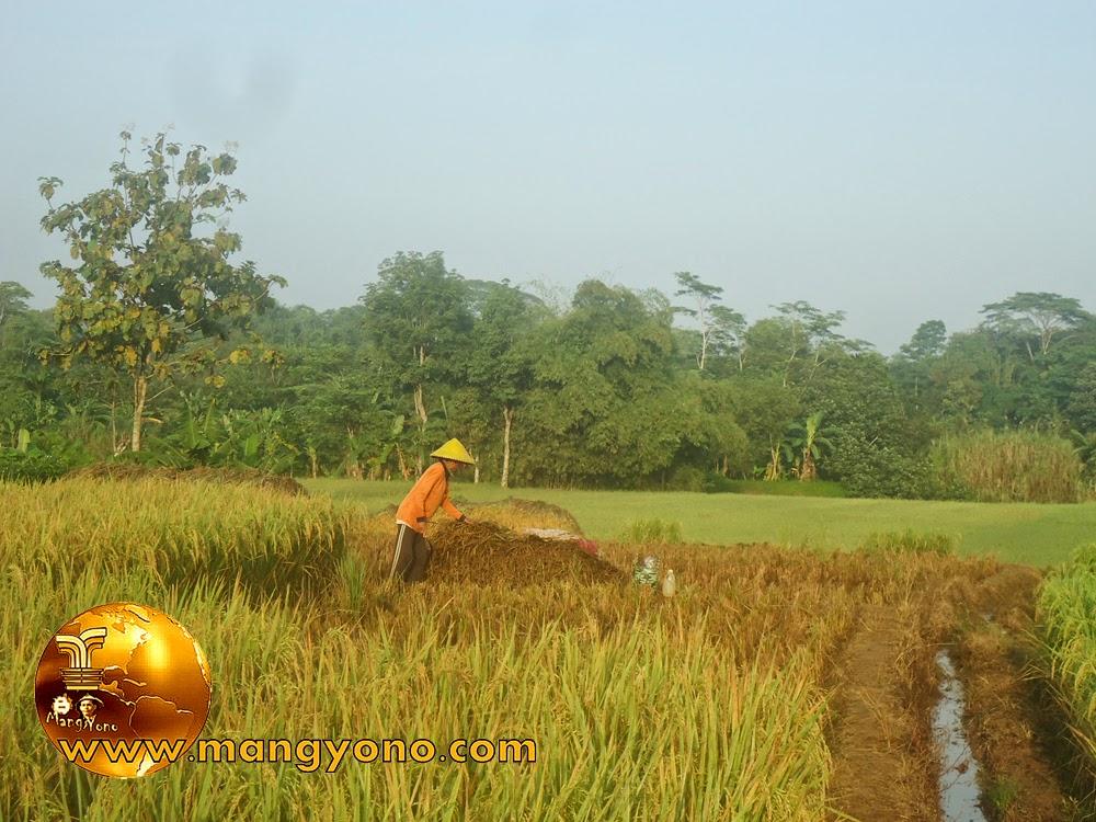 FOTO : Panen padi 2 – Nenek saya sedang menumpukan pohon padi  yang sudah dipotongi
