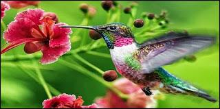 Mengenal Jenis jenis burung kolibri dan makananya