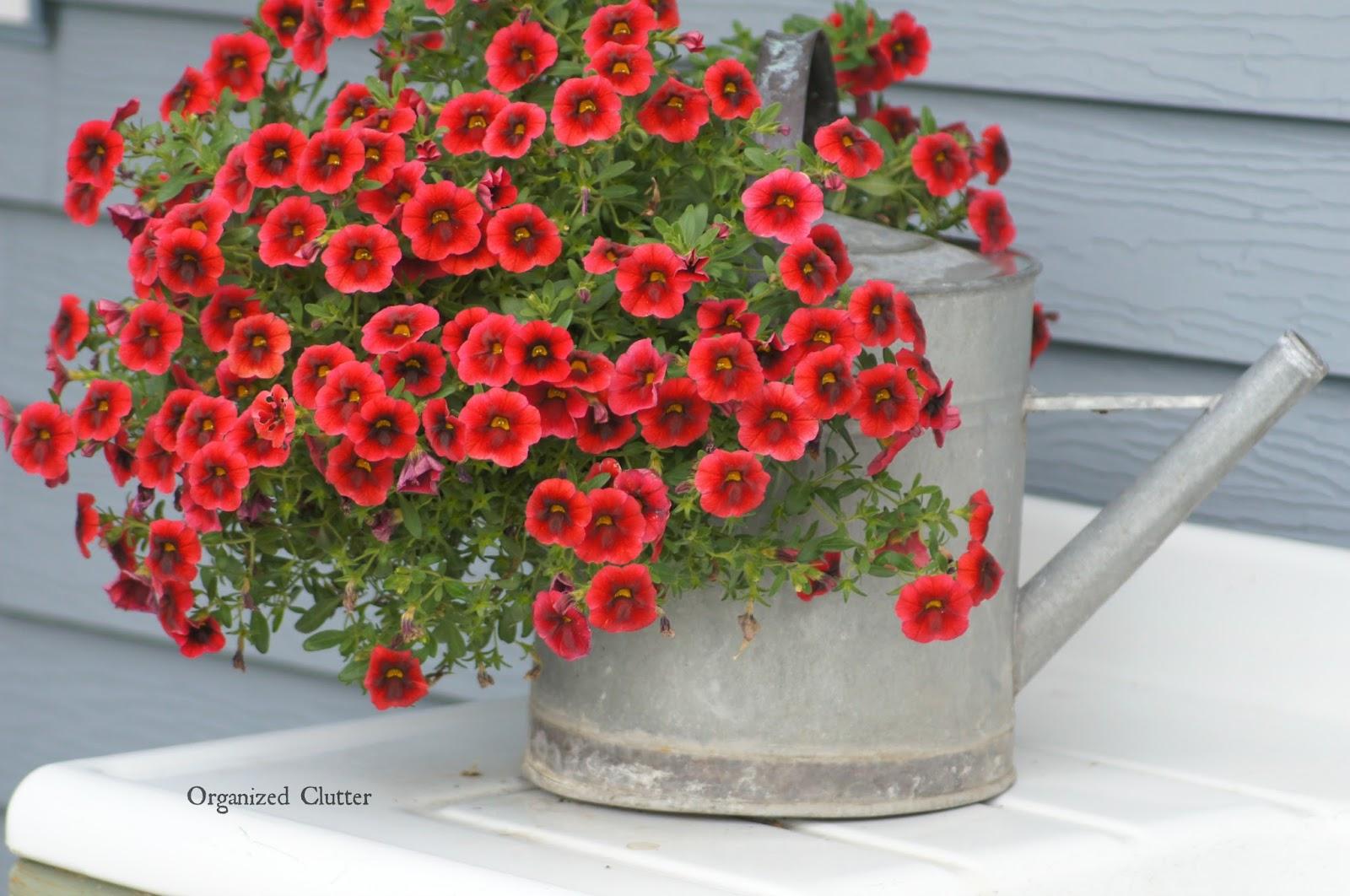 Calibrachoa www.organizedclutterqueen.blogspot.com
