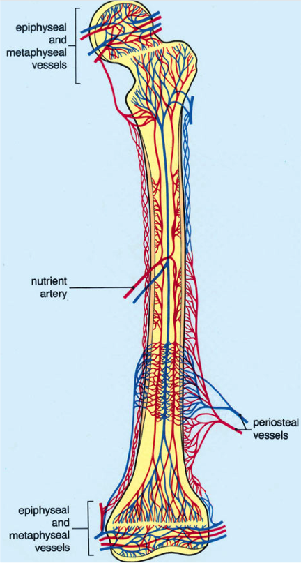 Nutrient artery - Wikipedia