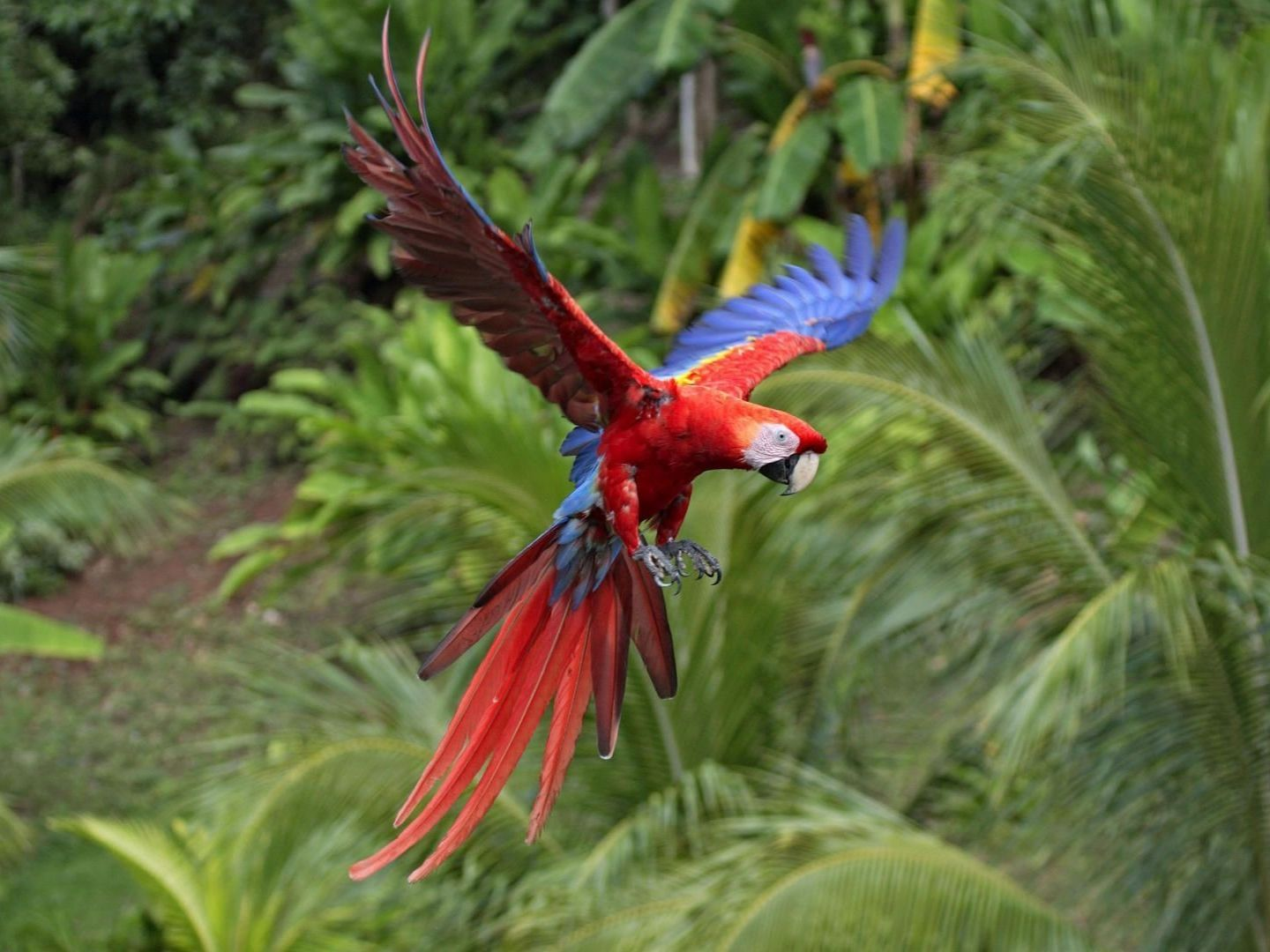 Macaw parrot red - photo#5