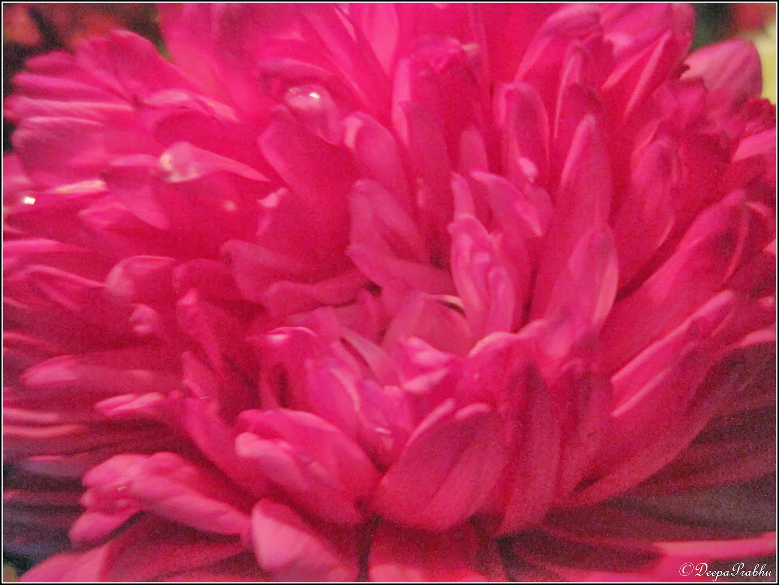 Photos of Shevanti and Aster flower / Chrysanthemums and Aster ...