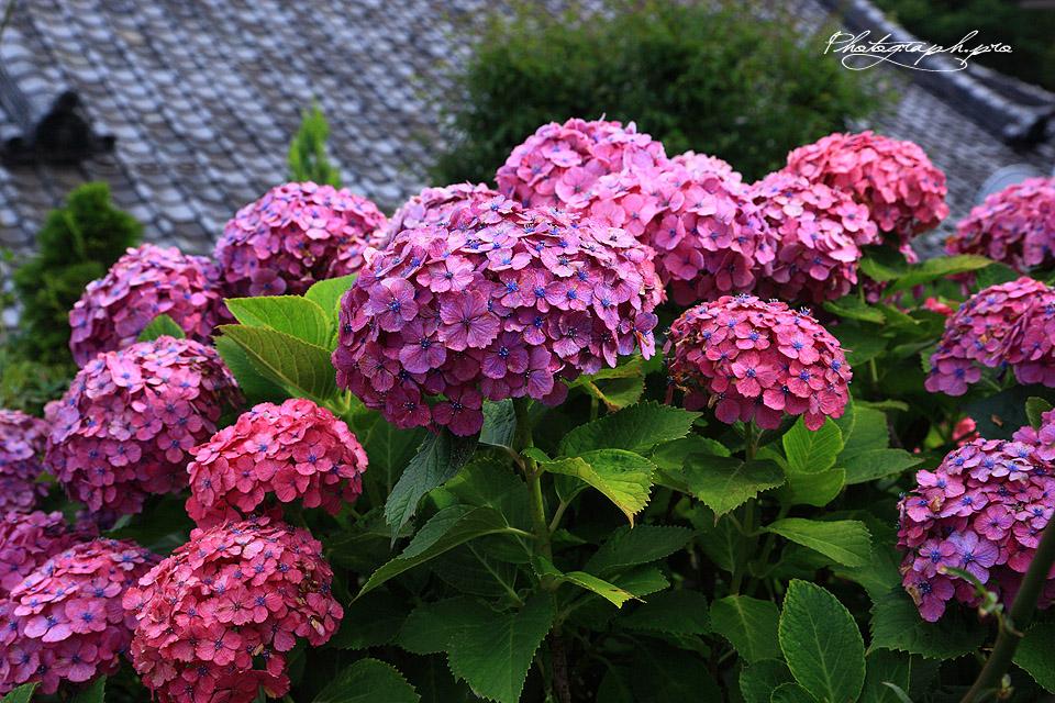泥牛庵の西洋紫陽花