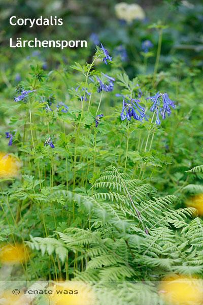 Pflanzen Teich, Pflanzen für den Teichrand, Pflanzung Ufer, Teichrand, Bepflanzung Blumenbeet am Gartenteich, Corydalis, Lärchensporn, Schattenbeet