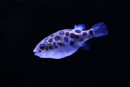Spotted green puffer fish