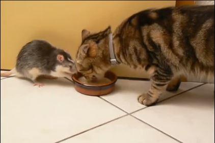 Vídeo de un gato y una rata amigos