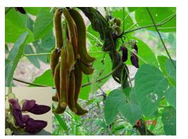 "Medicinal Uses of Cowhage,""Horse-eye Bean"",""Gonca"",""Kauncha"",""Kavach"",""Kapikachu"", ""Atmagupta,""Herbal Medicinal Plant,Herbal Medicos"
