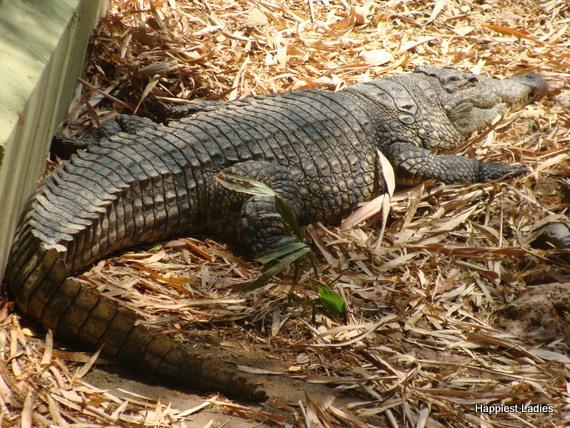 crocodile at mysore zoo