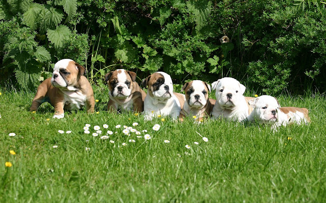 Group of English bulldog puppies photo
