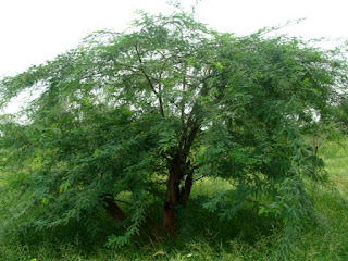 Babool Tree