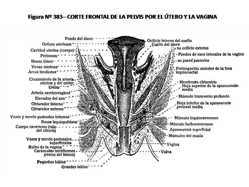 ATLAS DE ANATOMÍA HUMANA: 383. CORTE FRONTAL DE LA PELVIS POR EL ...