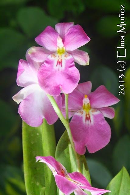 Miltoniopsis bismarckii 2013 (c) Elma Muñoz