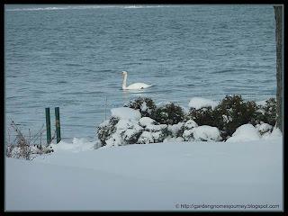 mute swan visits