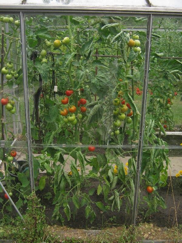 Esto es una de las plantas de jitomate al aire libre antes for Plantas para invernadero