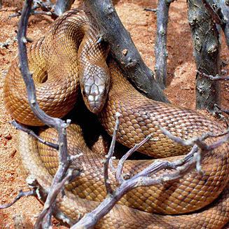 serpiente topo Pseudaspis cana