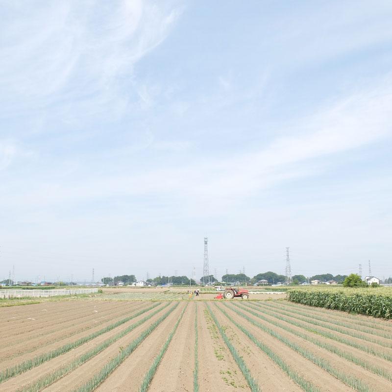 ネギ畑の写真