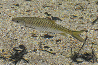 Sultan fish (Leptobarbus hoevenii) or Malaysian Mahseer (Tor tamroides)