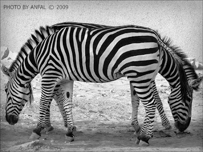 Ilusi Gambar Zebra