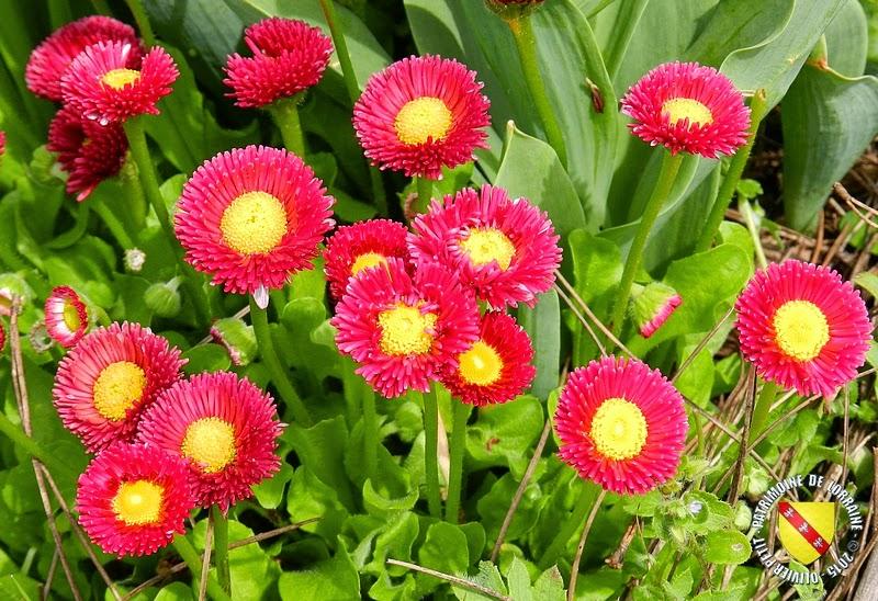VILLERS-LES-NANCY (54) : Le jardin botanique du Montet-Pâquerettes pomponnettes