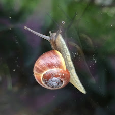 A snail on my window