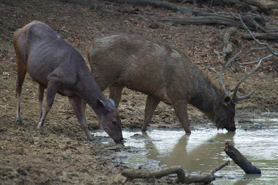 A photograph of a pair of Sambar deer taken in Yala, Sri Lanka