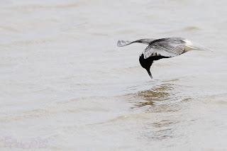 Fumarel común (Chlidonias niger) Black Tern