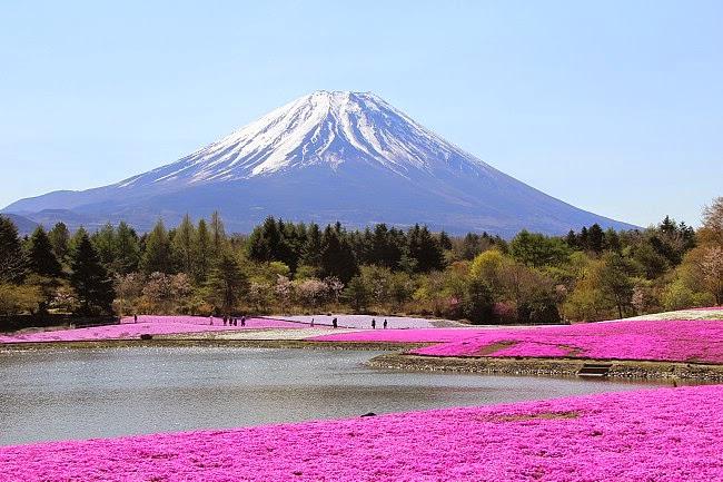 Festival Musim Semi Fuji Shibazakura
