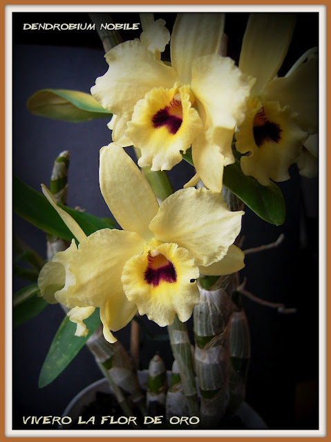 http://4.bp.blogspot.com/-iom1giB-Zw4/UHRbKhm4GKI/AAAAAAAAC70/W33qXxPuf08/s1600/Dendrobium_nobile_hybrid-1.jpg
