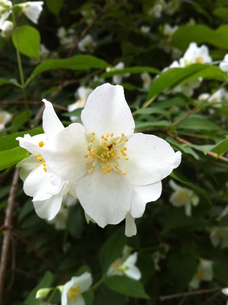 Juniper hill philadelphus coronarius scent and the for Philadelphus coronarius