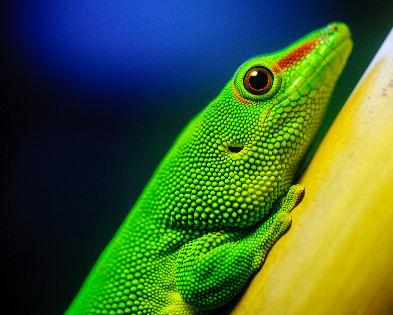 HQ Wallpapers Arena: Dangerous Green Lizard Wallpaper