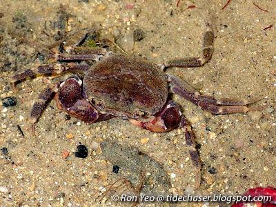 Singapore Freshwater Crab (Johora singaporensis)