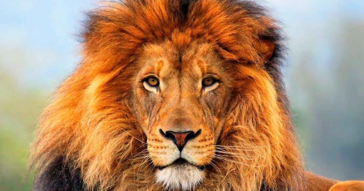 100 Lion Wallpapers for Your Desktop | Most beautiful ...