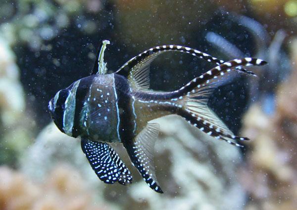 banggai cardinalfish - photo #15