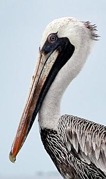 Pelicanos em Los Roques