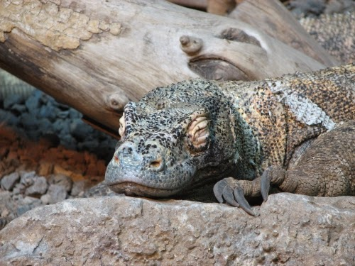 Image of a sleeping komodo monitor