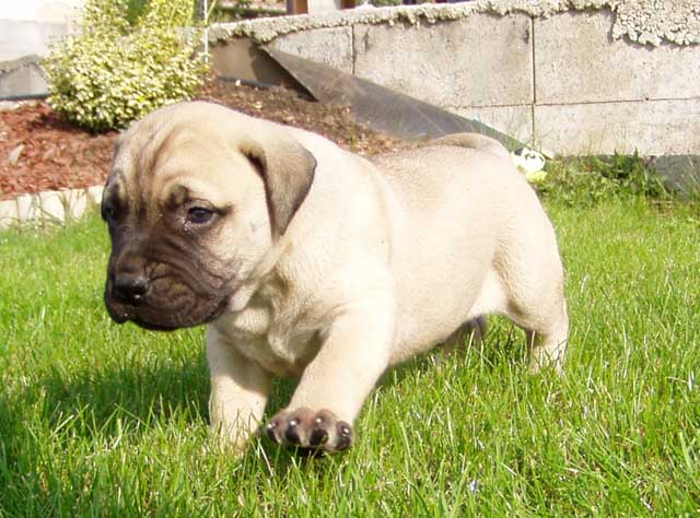 Pictures of bullmastiff puppies search results homedepotx com