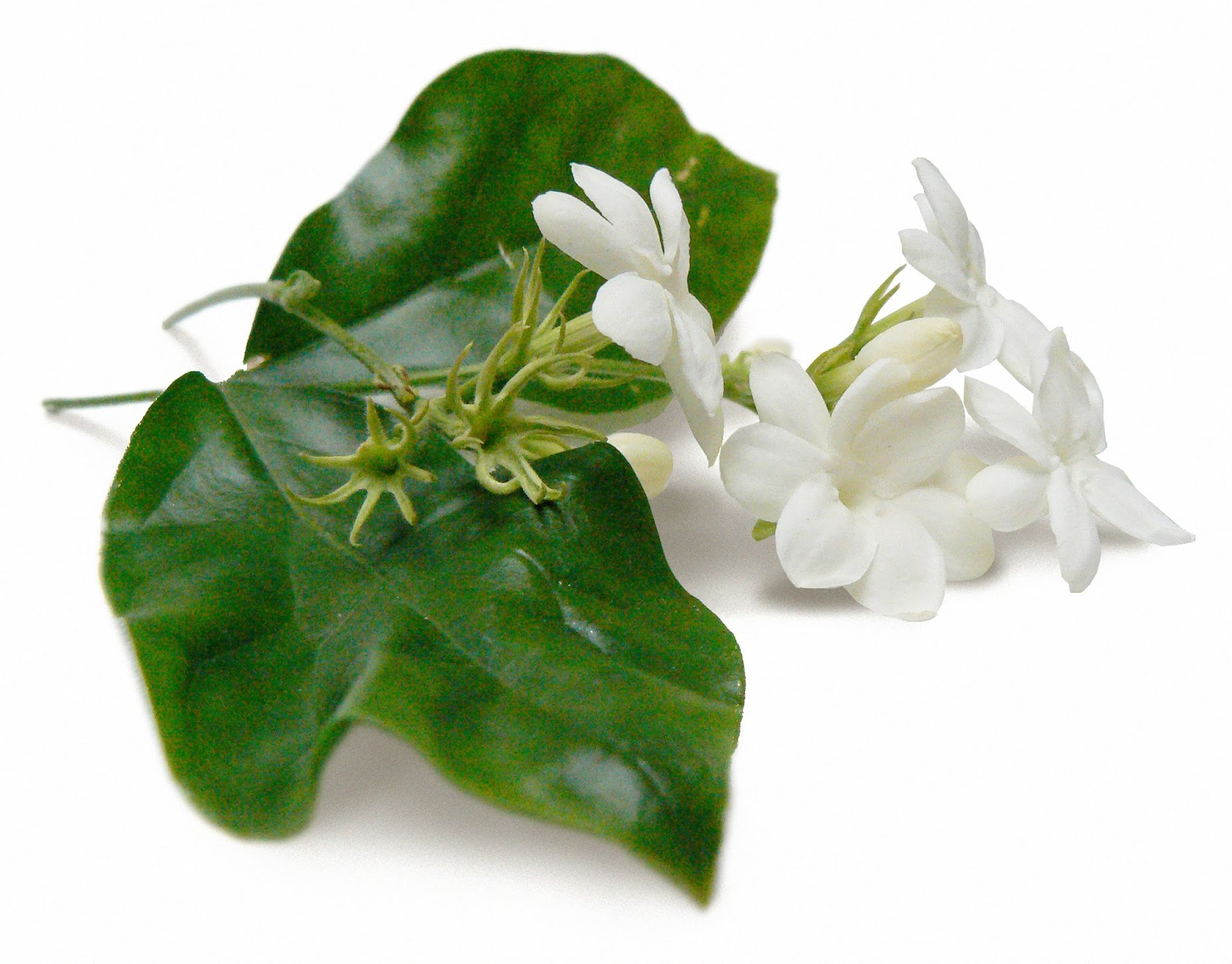 Smellyblog jasmine sambac ayala moriel parfums izmirmasajfo Gallery
