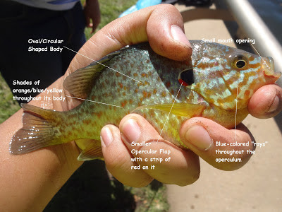 Sunfish Identification