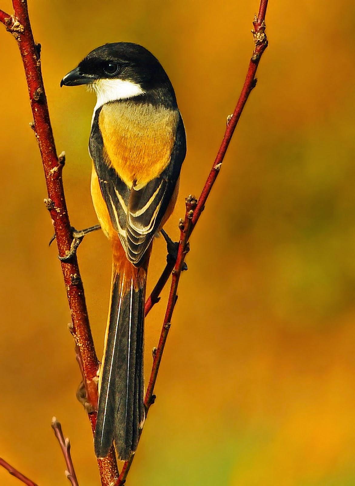 Foto Burung Pentet Jantan